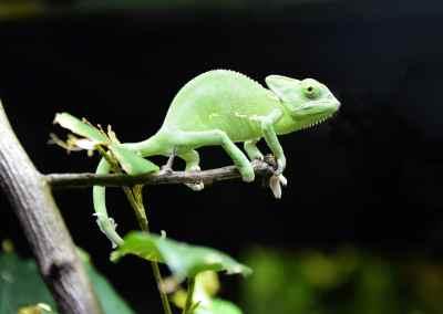 qué comen las iguanas verdes bebés