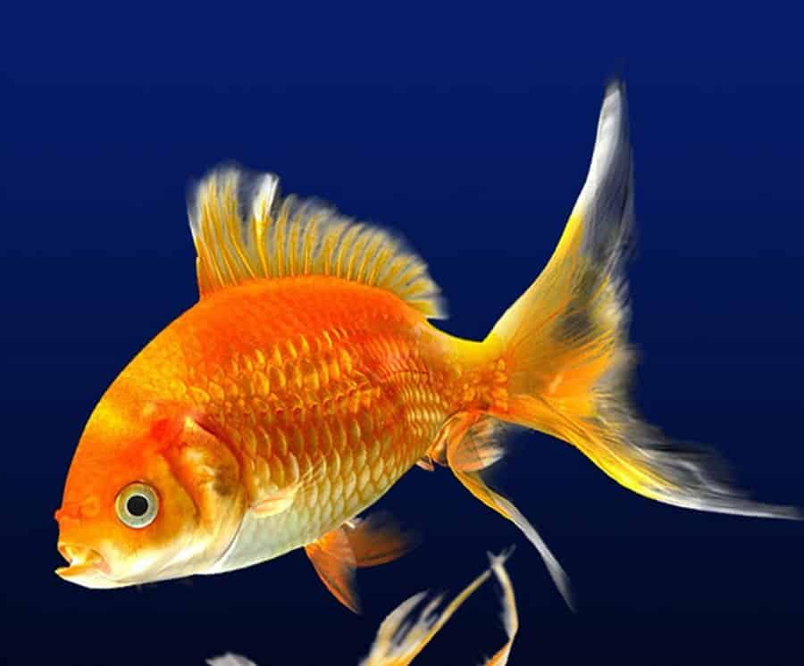 qué comen los peces dorados