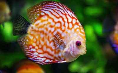 pez disco cuidados