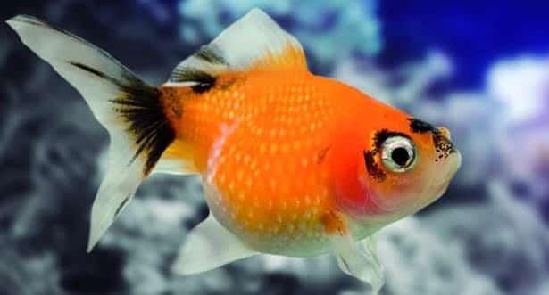 pez escama de perla