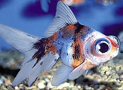 pez telescopio cuidados