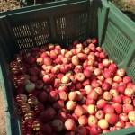 無料でリンゴ食べ放題!ドイツでリンゴ狩りに行ってきた!Obsthof Nickolaus