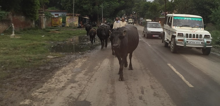 cows in street - be conformed