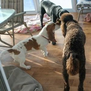 Lab-shepherd mix, golden doodle and basset hound enjoying playing while boarding with Sharon Toews
