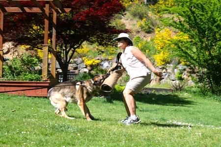 Training a German Shepherd dog.