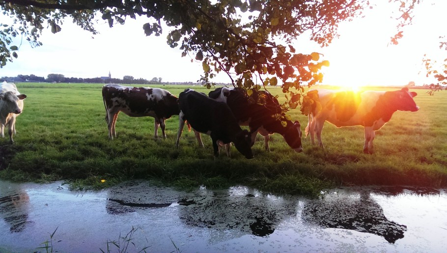 Overal koeien