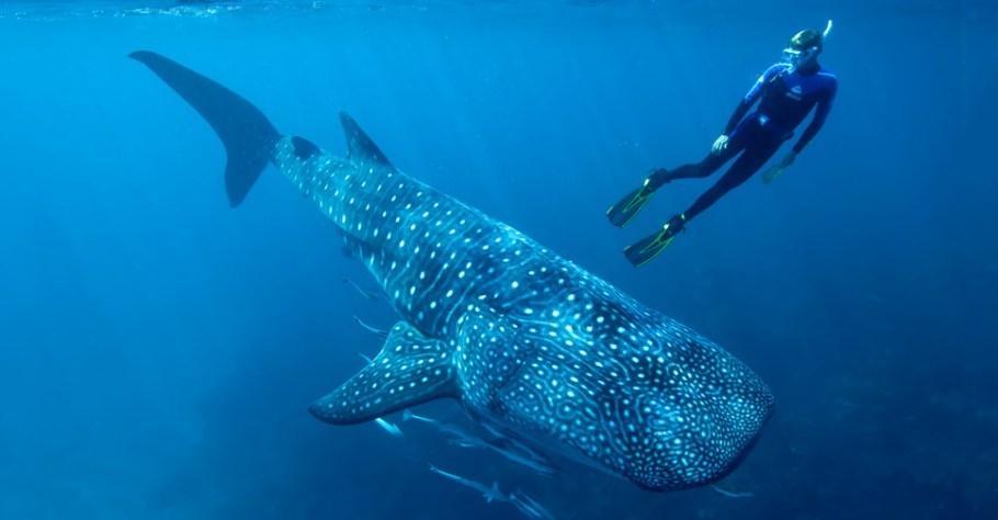 Snorkelen-met-walvishaaien-in-tofo_1