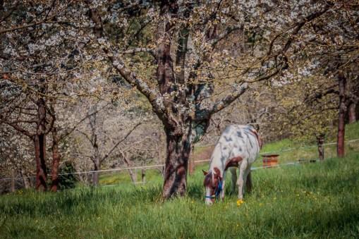 grazing horse in springtime