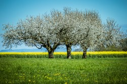 three trees blooming