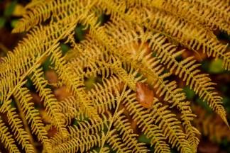 gelber-farn