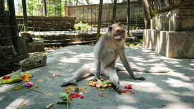 Monkeys don't beleive in religious offerings!