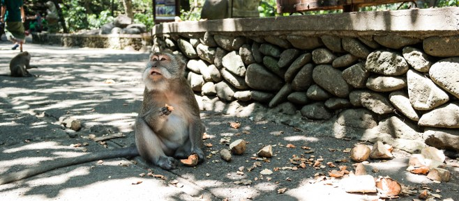 Ubud monkeys love yams
