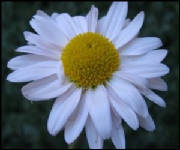 Daisy White Flower Thank God for what He is teaching you even in trials and tribulation