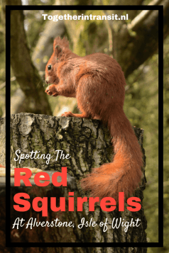 Red Squirrels Alverstone Isle of Wight are a must see during a visit to the Island togetherintransit.nl