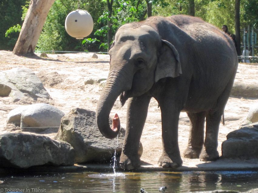 Things to do in Rotterdam in summer like viewing the Baby elephants at the Rotterdam Blijdorp Zoo