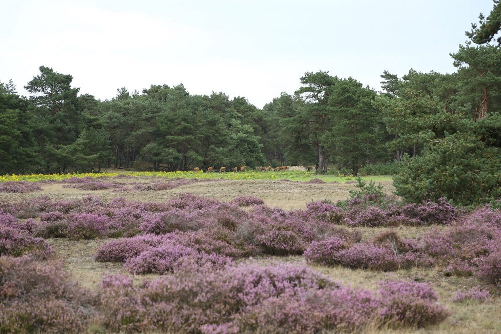 A photo from the Hoge Veluwe with the deer grazing in the distance