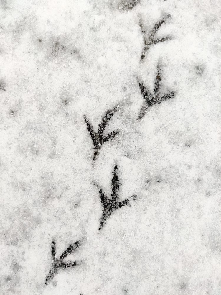 bird prints in the snow in luxembourg