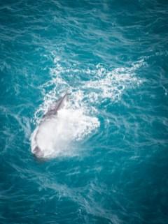 Sperm Whale - blowing spray