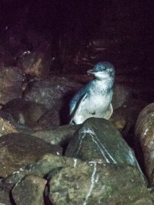 Little Blue Penguin in Cathedral Cave