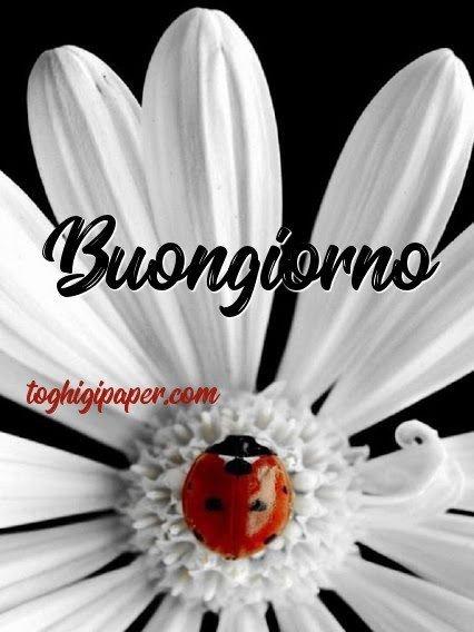 Buongiorno fiore con coccinella nuove e belle immagini gratis per WhatsApp, Facebook, Pinterest, Instagram, Twitter