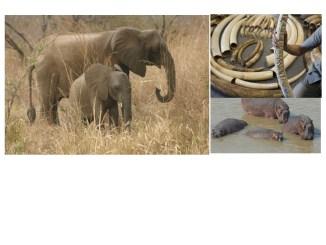 illustration Les hippopotames et éléphants en voie d'extinction au Togo, le tourisme en pâti