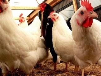 grippe aviaire togo Alerte : ce qu'il faut savoir sur le cas de grippe aviaire à Djagblé