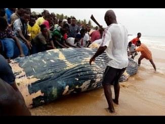 baleine Baleine échouée à Aného: comprendre ce qui s'est réellement passé