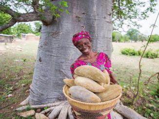 Baobab La pulpe de baobab pour lutter contre la malnutrition