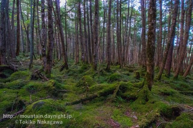 八ヶ岳・白駒の森