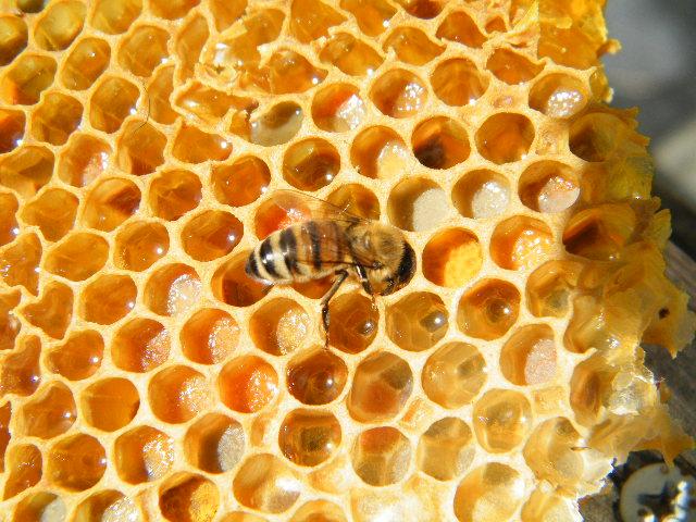 lebah madu randu