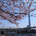 Skytree and fully blooming cherry blossoms (sakura) in Asakusa, Tokyo, Japan.