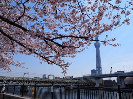 Skytree and fully blooming cherry blossoms (sakura) in Asakusa, Tokyo, Japan.