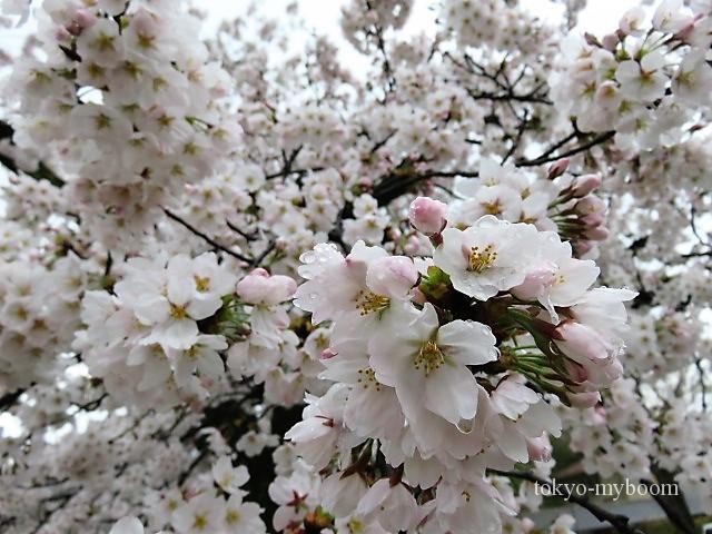 京都の桜哲学の道南禅寺インクライン円山公園