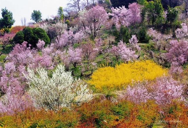 桜開花予想福島県花見山