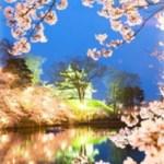 桜開花予想高田公園