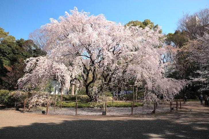 六義園『しだれ桜と大名庭園のライトアップ』