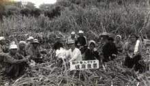 同じくサトウキビ収穫風景。キビ刈りは相当な重労働にもかかわらず、お元気そうな老人クラブの皆さんです。