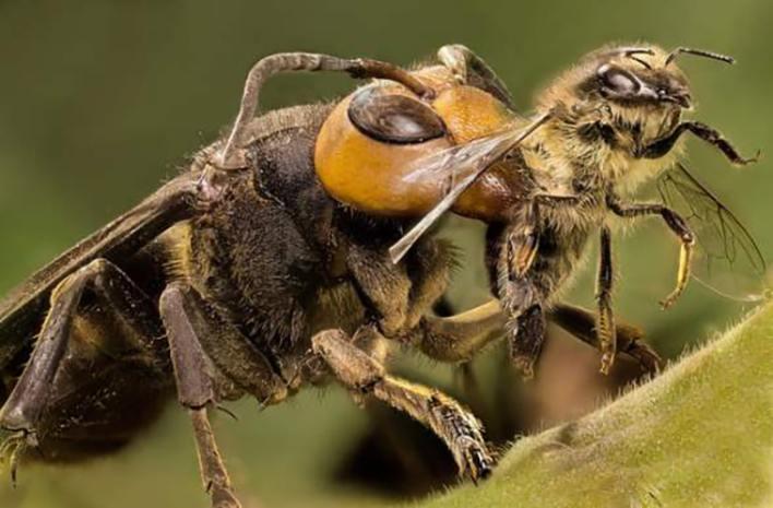 Японский шершень и пчела