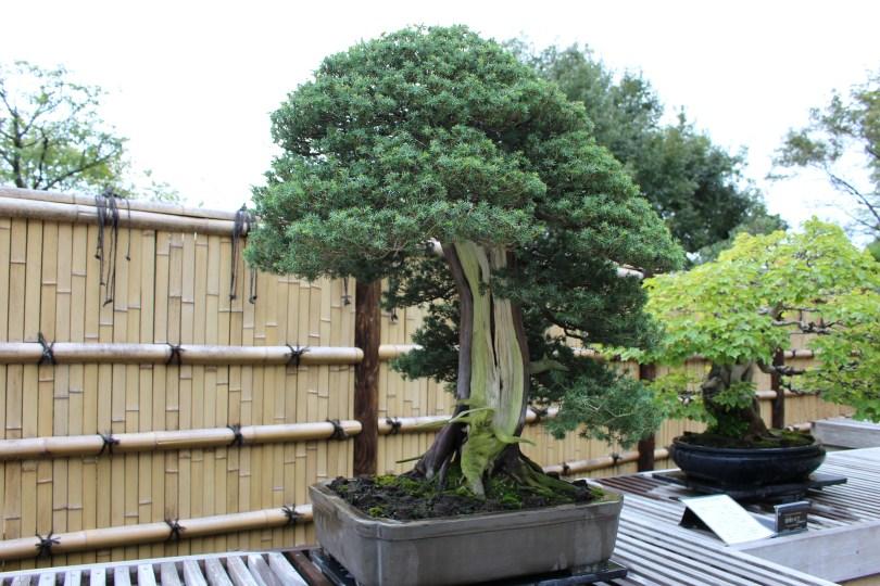 Needle juniper - 150 anos