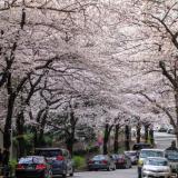 六本木一丁目の桜