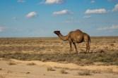 Uzbek Camels: much better suited to desert roads!