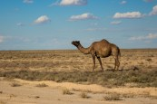 Uzbek Camels: much better suited to desert roads!