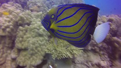 Blue Ringed Angelfish