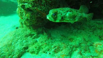 Blotched Porcupinefish