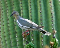 Backyard Birds of Tucson