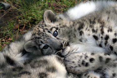 snow leopard anatomy diagram state of library management system conservation baby at ahtari zoo finland c 2006 frans mayra