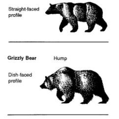 Brown Bear Diagram Wiring Symbol Thermostat Grizzly The Ursus Arctos Horribilis