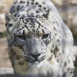 snow leopard anatomy diagram electrical wiring conservation