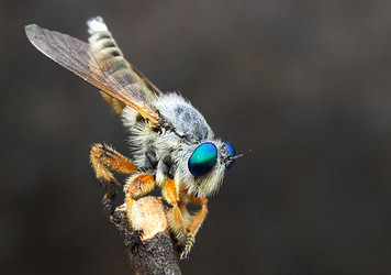 Asilidae, robber fly