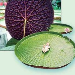 Lotus In Water Plant Diagram International 444 Tractor Wiring Labeled Of Lily Schematic Giant Cattail